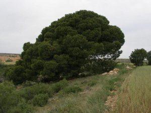 Pino del Caño