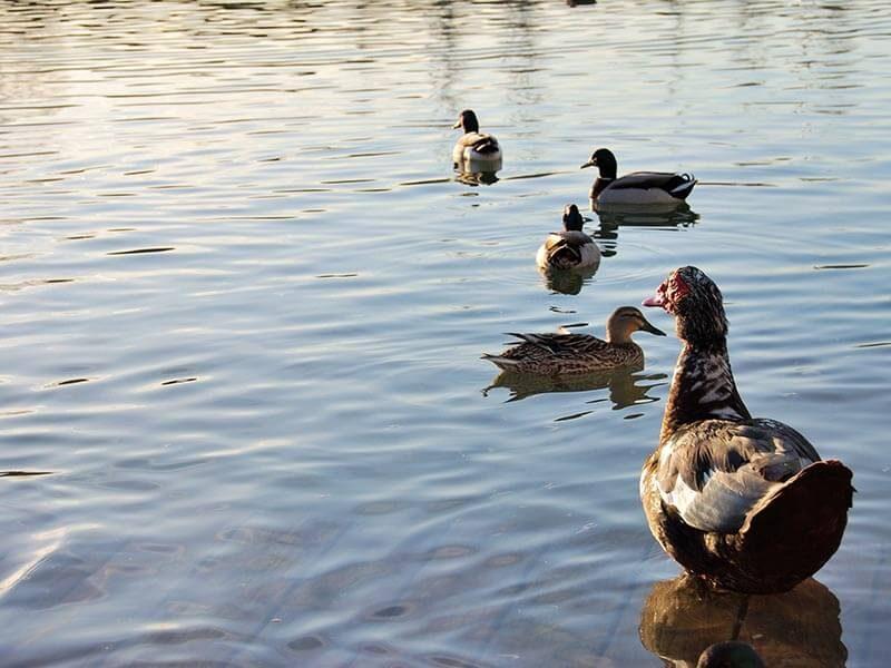 Patos del parque de Cabecera de Valencia.